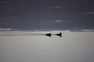 zwei Enten, Vögel, See, See, Wasser, Vögel, Eis, Winter