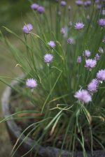 μικροσκοπικά λουλούδια μωβ, πράσινα φύλλα, αγγεία, κεραμικά, καλοκαίρι, λουλούδια