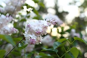 summer flowers, wild flower, light pink flower, summer, flowers
