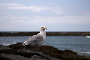 stojící pták Racek, bílý pták, oceán, zvířata, Racek