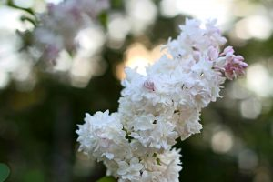 romatic flowers, white petals, tiny flowers, summer, bokeh, flowers