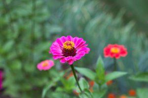 flori roz, vara, verde frunze, iarbă înaltă, flori, gazon