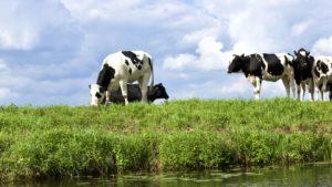 mucche, terreni agricoli, campo, prateria, erba verde, gregge, bestiame, mammifero