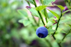 antioxidant, berry, blueberry, fruit, sweet, tasty