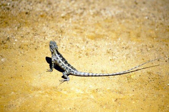 lizard, reptile, sand, exotic animal, daylight, animal, beach