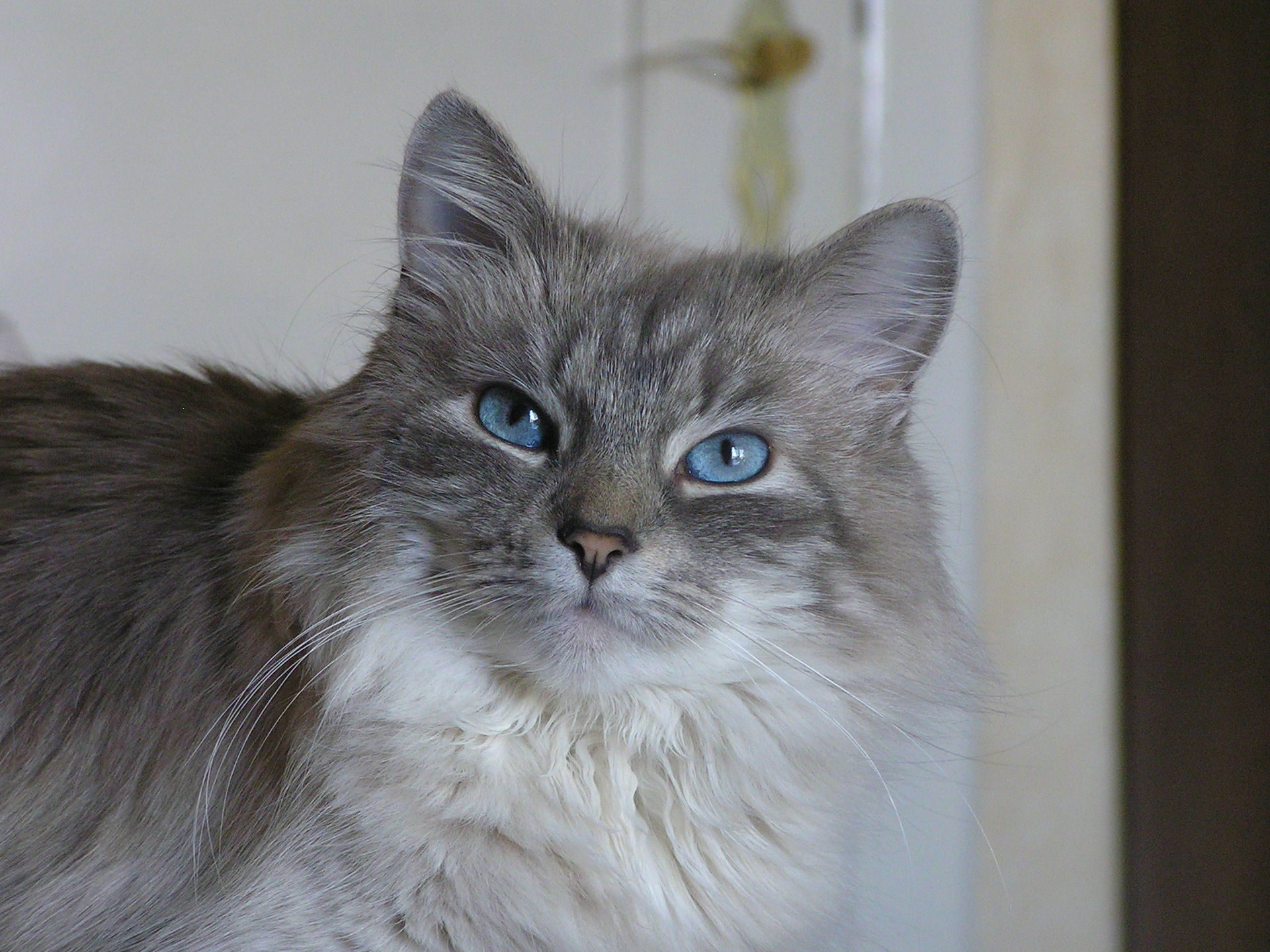 Free picture cute cat blue eyes animal gray cat portrait