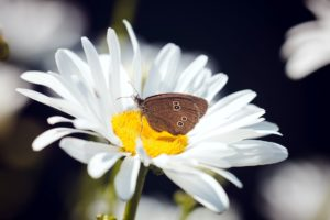 motýľ, zvierat, krásne, peľ, leto, kvety