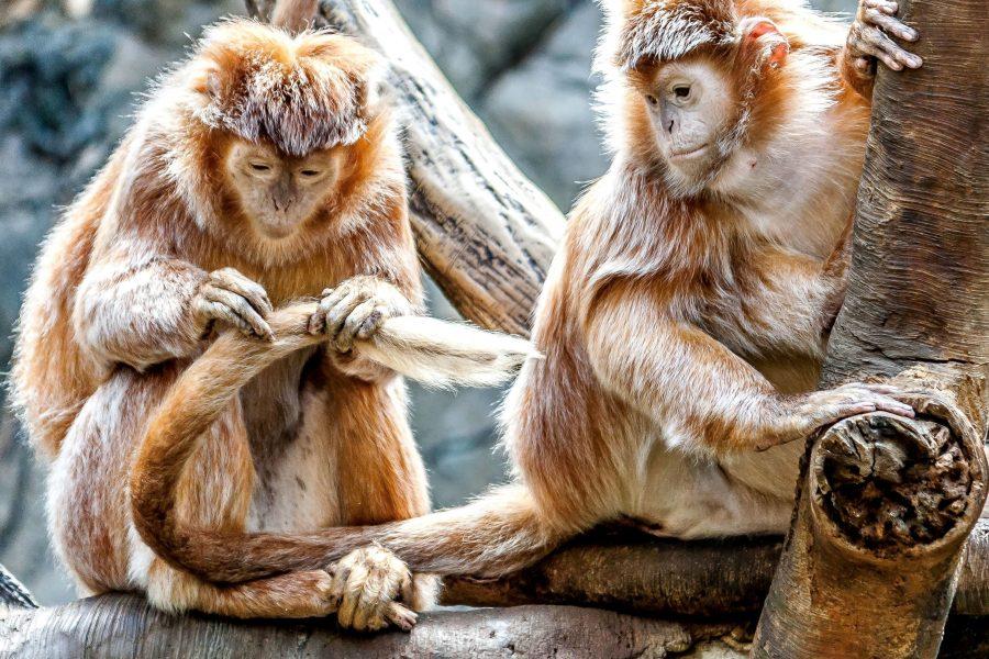 aap, primaat, dier, aap, zorg, schattig