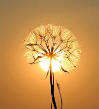 diente de león, sol, las semillas, la puesta del sol