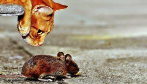 katten, sniffing, mus