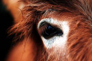 paard oog, dicht
