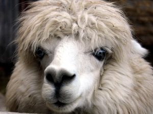 alpaca, animal, face, head