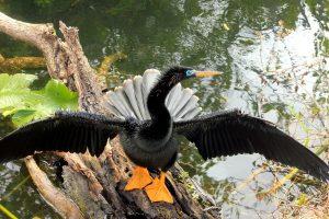 Anhinga Vogel, schwarzer Vogel, Flügel, See