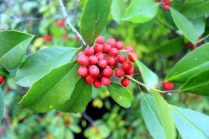 impianto di agrifoglio asiatica, frutti di bosco, ramo