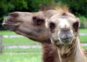 bactrian camel, animals, head