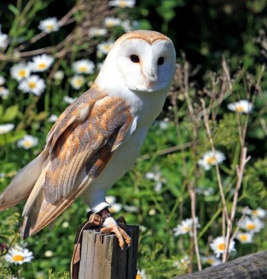 barn owl, owl