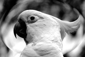 witte Valkparkiet vogel, papegaai, foto