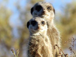 meerkat, mammal, mongoose, wild