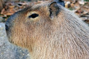capybara, rongeur, animal