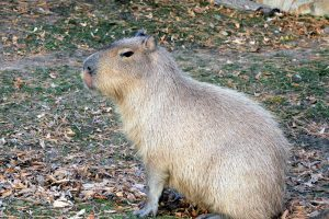 capybara, rodent