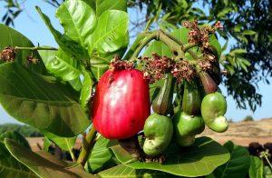 cashew puu, cashew hedelmä