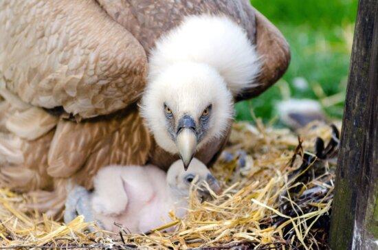 eagl, bird, animals, nest, plumage wildlife