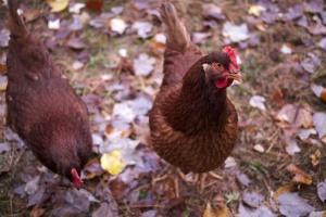 tyúk madarak, állatok, csirke, levelek