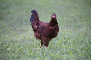 barna csirke, tyúk madár, madár, állat, állatok, csirke, állatok, fű