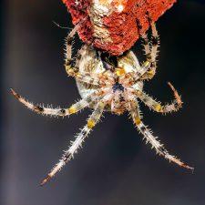 European garden spider, insect, macro