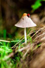 ladybug, mushroom