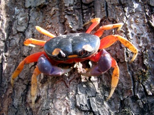 lune Halloween crabe, animal, crabe
