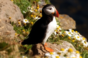 puffin bird, wild bird, rocks, flowers