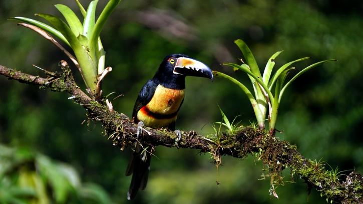 aracari Toucan Vogel, tropische Vogel