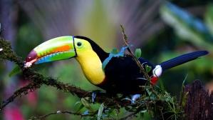 Toucan fugl, regnskog, dyr