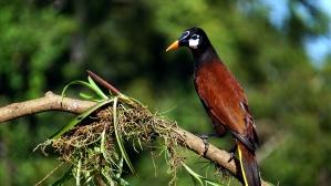 Montezumastirnvogel Vogel, exotische Vogel