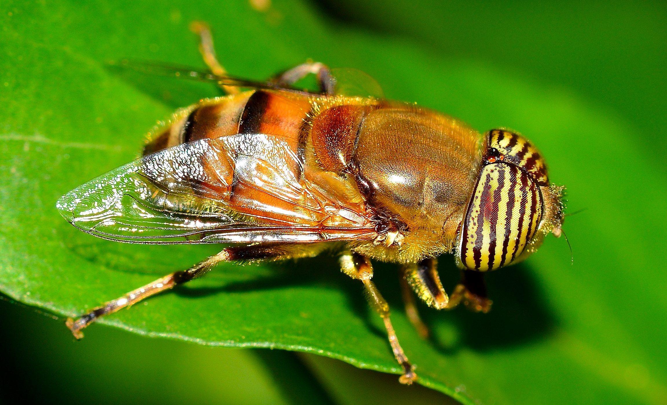 Vĩ Mô Hình Ảnh, Diptera Bay, Côn Trùng
