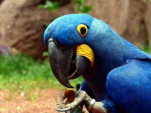 close, macro, hyacinth parrot, macaw, bird