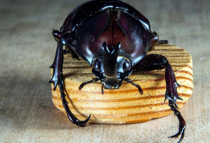 beetle, insect, wood, macro