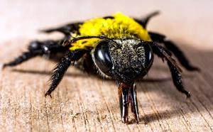 Biene, in der Nähe, Makro, Insekt