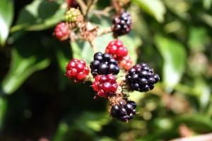 Obst, Brombeeren, frische Lebensmittel