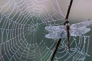 Spider, edderkoppnett, dragonfly, felle