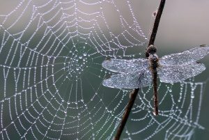 Aranha de teia de aranha, libélula, armadilha