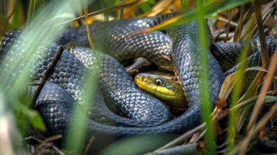 grass, snake, reptile, grass