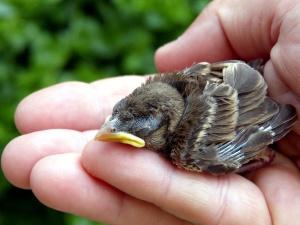 Vrabac ptičica, ručni