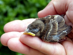 baby sparrow bird, hand