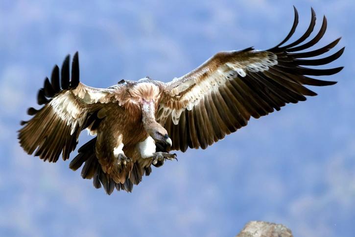 keselyű madár, repülés