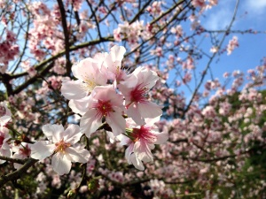 cherry tree, blossom, pink flowers, spring