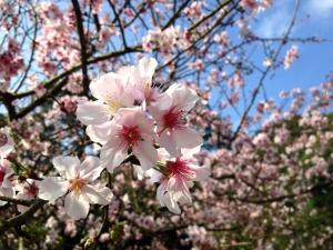 kirsebærtre, blomster, rosa blomster, våren