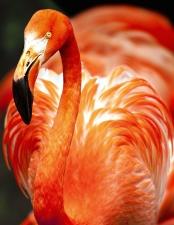 flamingo, plumage, beautiful bird, feathers