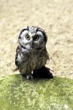 pygmy owl, owl bird